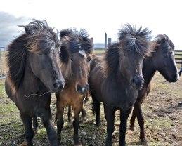 Geisli, Styrjöld, Rás og Náttvörður – four riding horses