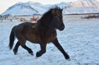 IS2018235451 Fjöðrun frá Melaleiti (Svartálfur frá Syðri-Gegnishólum/Dýrvin frá Melaleiti)